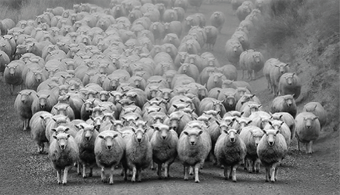social-proof-sheep